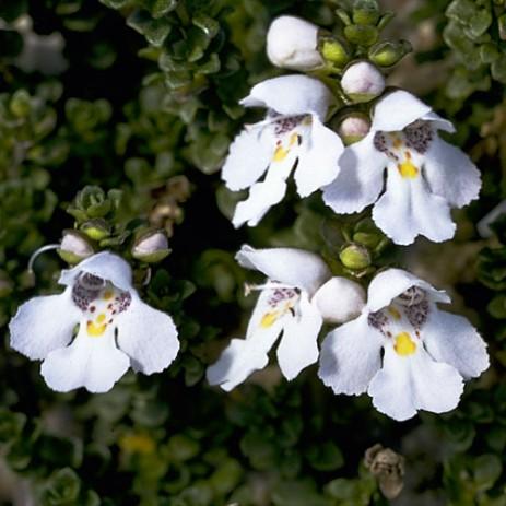 alpine-mint-bush-foto