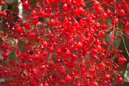 Illawarra_Flame_Tree_(Brachychiton_acerifolius)_flowers_1